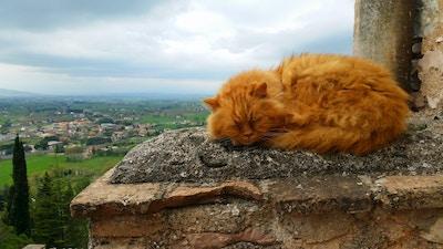 Spello Katt Umbria Italia 72