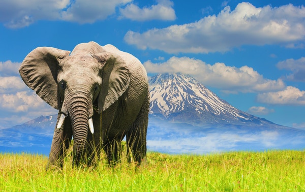 Gettyimages 494035612 Kenya Amboseli Safari Elefant