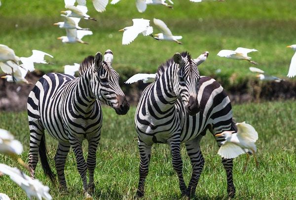 Getty Images-1033779762_Kenya_safari_zebra