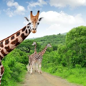 Getty Images 178160586 Afrika Syd Afrika Safari Giraff