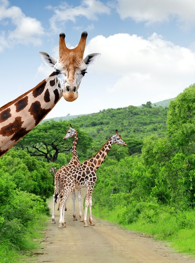 Getty Images 178160586 Afrika Syd Afrika Safari Giraff