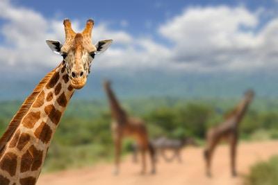 Getty Images-519153908_Kenya_Safari_giraff