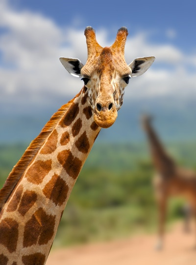 Getty Images-519153908_Kenya_Safari_giraff