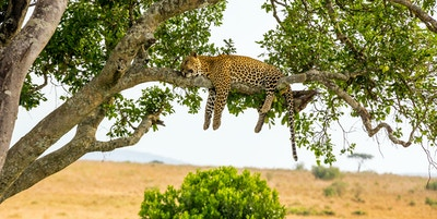 Gettyimages 594025408 Afrika Safari Leopard