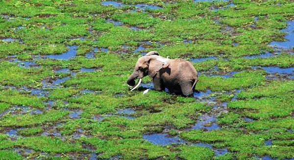 Getty Images-869896630_Kenya_Amboseli_elefant-square