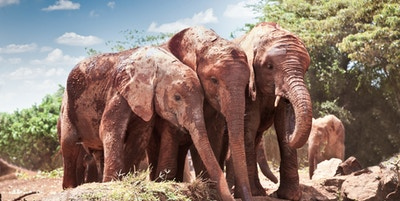 Getty Images 502452345 Afrika Kenya Tsavo East Safari Elefant dyr