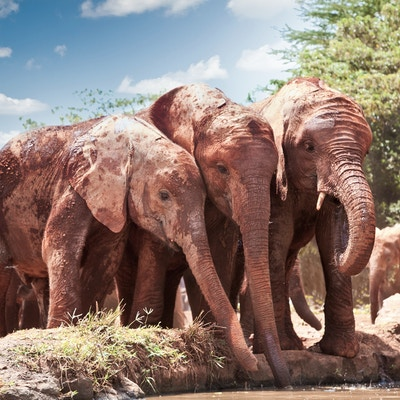 Getty Images 502452345 Afrika Kenya Tsavo East Safari Elefant dyr