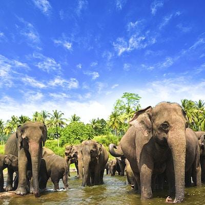 Istock 000026992895 Sri Lanka Elefanter