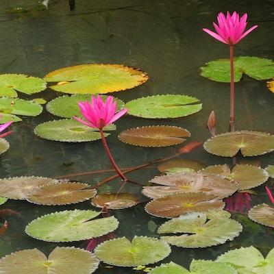 Istock 21783115 Blomster Sri Lanka