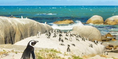 Getty Images 467972626 Sor Afrika Cape Town Boulders Beach pingvin