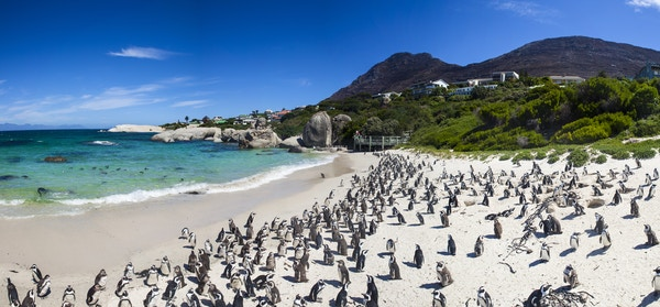 Getty Images 505829816 Sor Afrika Cape Town Boulders Beach pingvin