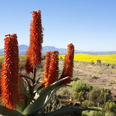 Getty Images 184797256 Sor Afrika Garden Route aloe vera