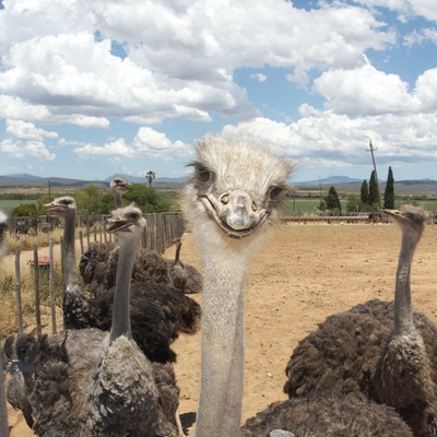Getty Images 526723703 Sor Afrika Oudtshoorn struts