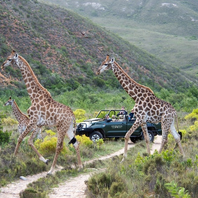 Giraffe with vehicle behind 2