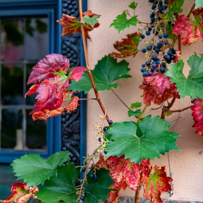 Getty Images 1135867779 Tyskland rudesheim vin blomster